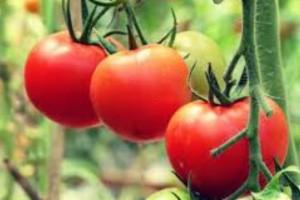 Με αυτό το λάθος που κάνουμε η ντομάτα χάνει την αντικαρκινική της δράση - Μεγάλη προσοχή