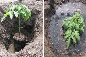 Μ' αυτόν τον τρόπο οι ντοματιές σας θα φτάσουν τα 2 μέτρα και θα βγάλουν διπλάσιες ντομάτες