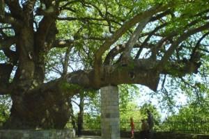 Ο μεγαλύτερος πλάτανος στον κόσμο έχει ηλικία 2.400 ετών και βρίσκεται στην Ελλάδα!