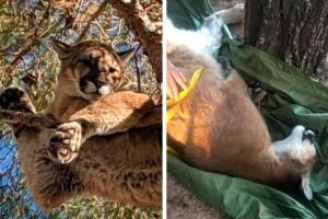 """Λιοντάρι παγιδεύτηκε σε δέντρο ύψους 15 μέτρων: Λίγα λεπτά μετά """"πάγωσαν"""""""