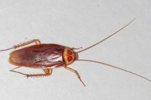 Διώξτε τις κατσαρίδες με αυτόν τον οικονομικό και φυσικό τρόπο - Τέλος ο εφιάλτης
