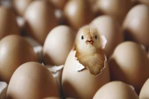 Η κότα έκανε το αυγό ή το αυγό την κότα; Επιστήμονας δίνει απάντηση στον γρίφο