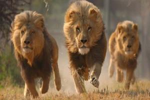 Υπήρχαν λιοντάρια στην Αρχαία Ελλάδα - Γιατί εξαφανίστηκαν;