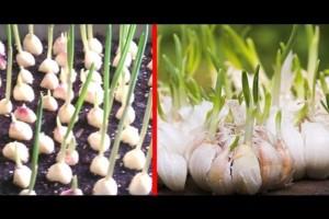 Σταματήστε να αγοράζετε σκόρδο - Καλλιεργήστε απεριόριστη ποσότητα σπίτι σας με...