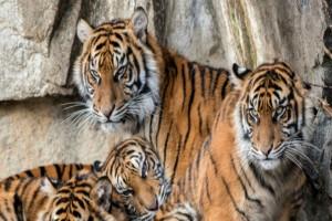 Τρεις τίγρεις τρώνε με απίστευτη λαιμαργία - Μόλις δείτε το γεύμα τους θα πάθετε σοκ!