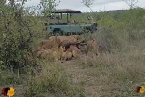 Βούβαλος ήταν πεσμένος στο έδαφος και 15 λιοντάρια τον είχαν περικυκλώσει - Αυτό που συμβαίνει στη συνέχεια σοκάρει... (Video)