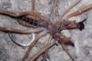 Φρίκη στα Τρίκαλα: Εντοπίστηκε «εξωγήινη» αράχνη - Τρέχει με 36χλμ/ώρα και η ουρά της είναι 1 μέτρο (photo)