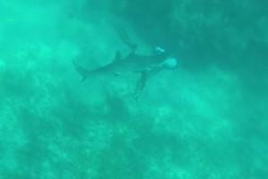 Ανατριχιαστικό: Καρχαρίας δαγκώνει 29χρονο δύτη στο κεφάλι! (video)