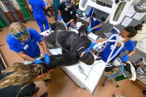 Φοβερό: Γορίλας δέχεται τεστ για κορωνοϊό