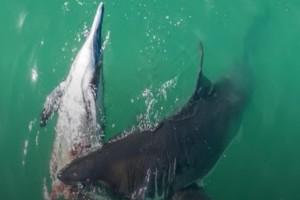 Καρχαρίες κομματιάζουν δελφίνι και το κατασπαράζουν (Video-Προσοχή σκληρές εικόνες)