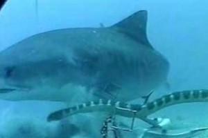 Καρχαρίας εναντίον φιδιού σε μια σπάνια μάχη - Το βίντεο που έχει ξεπεράσει τις 20.000.000 προβολές (Video)