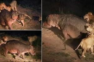 Πέντε λιοντάρια προσπαθούν να κατασπαράξουν ιπποπόταμο... με την συνέχεια να σοκάρει - Συγκλονιστικό βίντεο