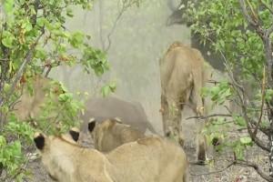 Βουβάλι τσακίζει λιοντάρια που κατασπαράζουν το μοσχαράκι της (Video)