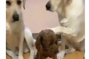 Αυτοί οι 3 σκύλοι νιώθουν ένοχοι για αυτό που έκαναν - Μόλις δείτε τι συνέβη θα τρελαθείτε