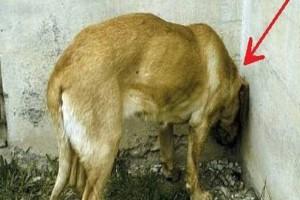 Προσοχή: Αν δείτε το σκύλο σας να κάνει αυτή την κίνηση, τηλεφωνήστε αμέσως στον κτηνίατρό σας