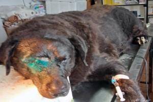 Πέθανε ο γνωστός αδέσποτος σκυλάκος, ο αγαθός γίγαντας, από προβλήματα υγείας
