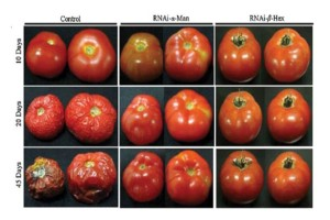 Πουλάνε παντού μεταλλαγμένες ντομάτες - Ο τρόπος για να τις ξεχωρίσετε και να μην βάλετε σε κίνδυνο την υγεία σας