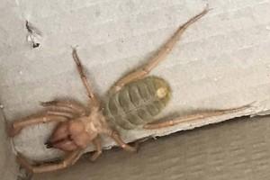 Αράχνη – δολοφόνος στην Ελλάδα: Άμεσος κίνδυνος για τους πολίτες