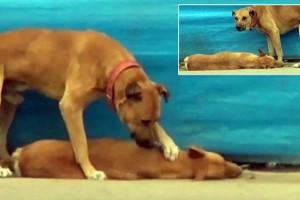 Κάμερα καταγράφει τη στιγμή που ο σκύλος προσπαθεί να επαναφέρει το νεκρό φίλο του - Αποκλείεται να μη δακρύσετε