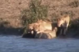 Ένα κοπάδι από λιοντάρια επιτίθεται σε ένα μωρό βουβάλι - Λίγα λεπτά μετά εμφανίζεται...