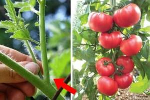 Έτσι πρέπει να κλαδεύετε τις ντομάτες σας - Δώστε βάση