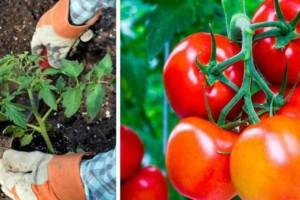 Ρίξτε αυτά τα 8 συστατικά και θα μεγαλώσετε τις πιο γευστικές ντομάτες