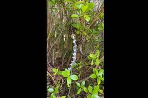 Απίστευτη μάχη ανάμεσα σε δύο φίδια - Το ένα κατάπινε το άλλο (Video)