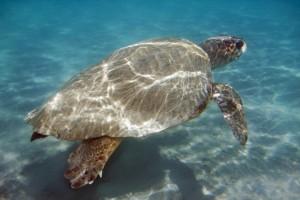 Αισιοδοξία για τις καρέτα-καρέτα: Ρεκόρ 25ετίας στις φωλιές με πάνω από 150.000 χελωνάκια