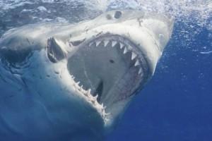 Ανατριχιαστικό βίντεο με τη μανιασμένη επίθεση καρχαρία σε δύτες