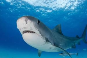 Έβαλε δυνατή μουσική και βούτηξε στη θάλασσα - Η αντίδραση ενός καρχαρία θα σας αφήσει άφωνους