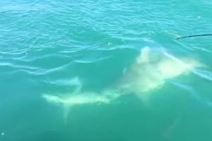Η απόλυτη μάχη στο νερό: Καρχαρίας επιτίθεται σε άλλο καρχαρία!