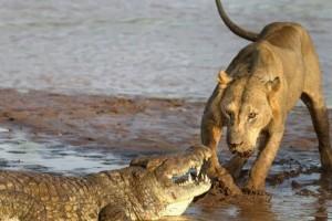 Λιοντάρι κολυμπά σε μυστήρια νερά και ξαφνικά εμφανίζεται κροκόδειλος - Η συνέχεια σοκάρει (Video)