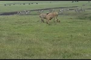 Μάγκας σκύλος παίρνει στο κυνήγι ζευγάρι λιονταριών - Αυτό που γίνεται στο τέλος...