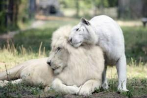 Αυτό το λευκό λιοντάρι ερωτεύτηκε μια τίγρη - Λίγους μήνες μετά...