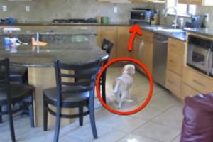 Αυτός ο σκύλος κλέβει το κρέας από το φούρνο - Μόλις δείτε τι κατέγραψε η κρυφή κάμερα θα μείνετε