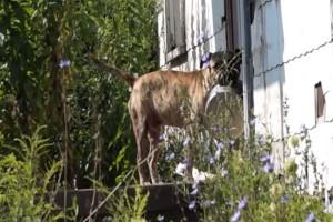 Θα σας ραγίσει την καρδιά: Αδέσποτος σκύλος ζητιανεύει για λίγο φαΐ από πόρτα σε πόρτα, κρατώντας το πιατάκι του στο στόμα