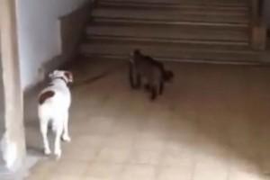 """Μια γάτα βγάζει καθημερινά βόλτα ένα σκύλο - Μόλις δείτε το βίντεο θα """"μείνετε"""""""