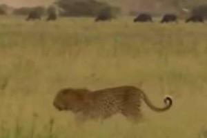 Λεοπάρδαλη… αλήτισσα τα βάζει με δύο λιοντάρια - Αυτό που τους κάνει θα το θυμούνται για πάντα