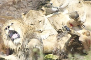 Κόβει την ανάσα: Η σπάνια στιγμή που λέαινες προσπαθούν να σκοτώσουν αρσενικό λιοντάρι