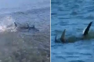 Θρίλερ στην Αρτέμιδα: Καρχαριοειδή προκαλεί τρόμος στην παραλία!