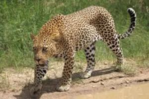 Εικόνες που σοκάρουν: Μανιασμένη λεοπάρδαλη κατασπαράζει δύο λιοντάρια! (Video)
