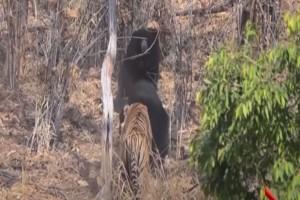 Η απίστευτη τιτανομαχία μεταξύ μίας τίγρης και μίας αρκούδας που σοκάρει όλο το διαδίκτυο