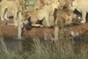 9 Λέαινες κατασπαράζουν αρσενικό λιοντάρι - Ανατριχιαστικό!