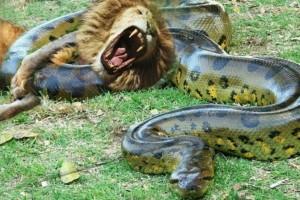 Θανάσιμη μάχη: Λιοντάρι εναντίον... ανακόντα - Ποιος επικρατεί; (Video)
