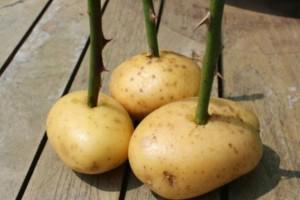 Αυτό το απίστευτο τρικ με πατάτες θα γεμίσει τη βεράντα σας με τριαντάφυλλα!