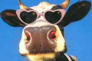 Ένας ταύρος και μια αγελάδα ερωτεύονται: Το ανέκδοτο της ημέρας (22/1)