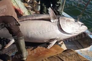 Απίστευτο σκηνικό στην Πρέβεζα: Έπιασαν τόνο 130 κιλών!