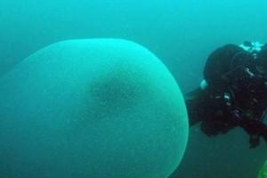 Μυστήριο στο βυθό της Νορβηγίας: Γιγάντιες μάζες που περιέχουν αβγά καλαμαριών