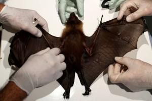 Κορωνοϊός: Σάλος με βίντεο ντοκουμέντο - Νυχτερίδες σε κλουβιά στο εργαστήριο της Ουχάν