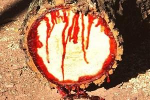 Κι ομως! Παράξενο δέντρο «ματώνει» όταν κόβεται